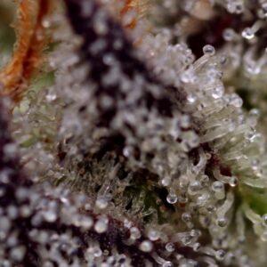 Purple Haze Topshelf Sativa